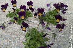 24 viole