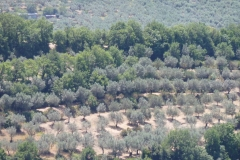 verde ulivo