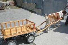 cane al traino